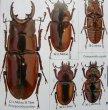 出典:stag beetles of china II